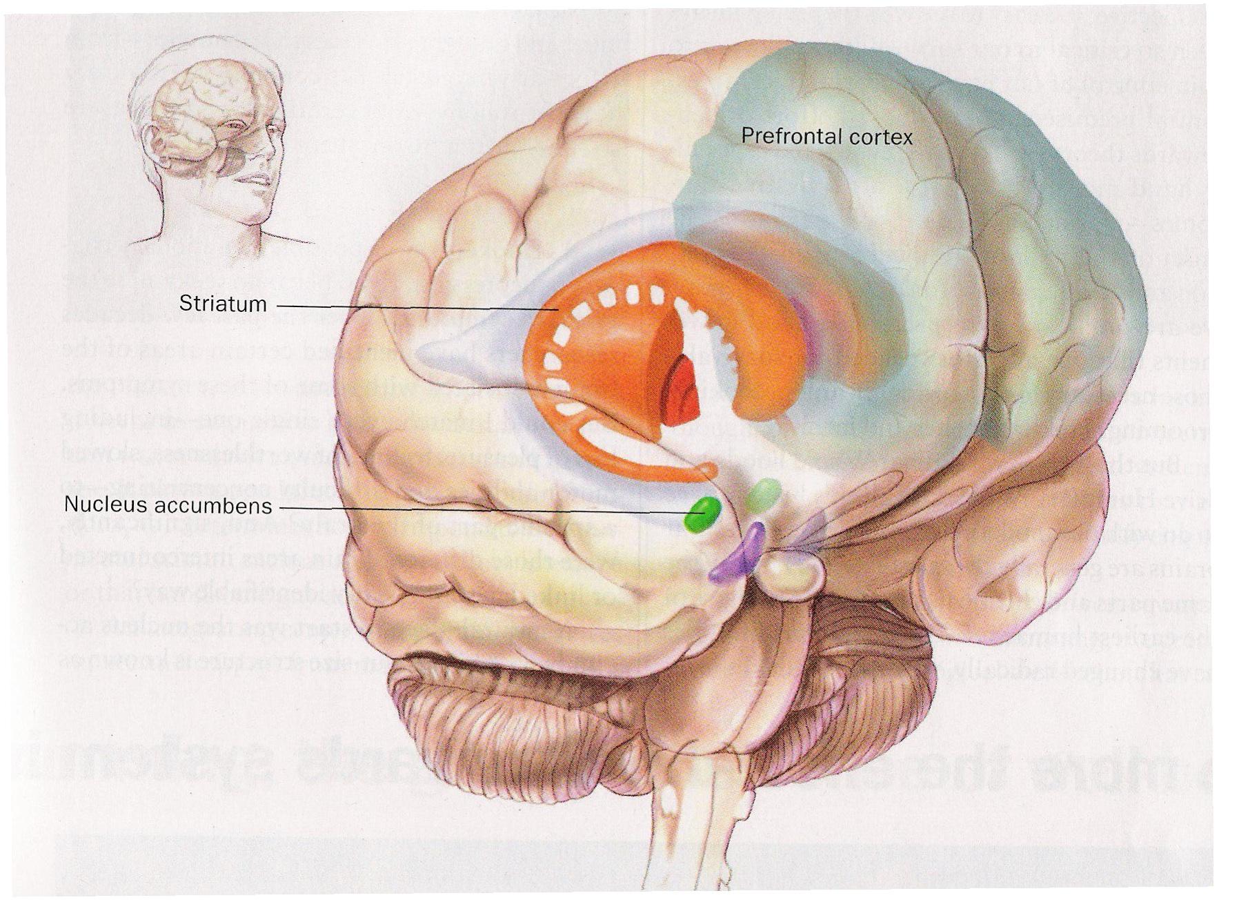 Nucleus Accumbens Anatomy
