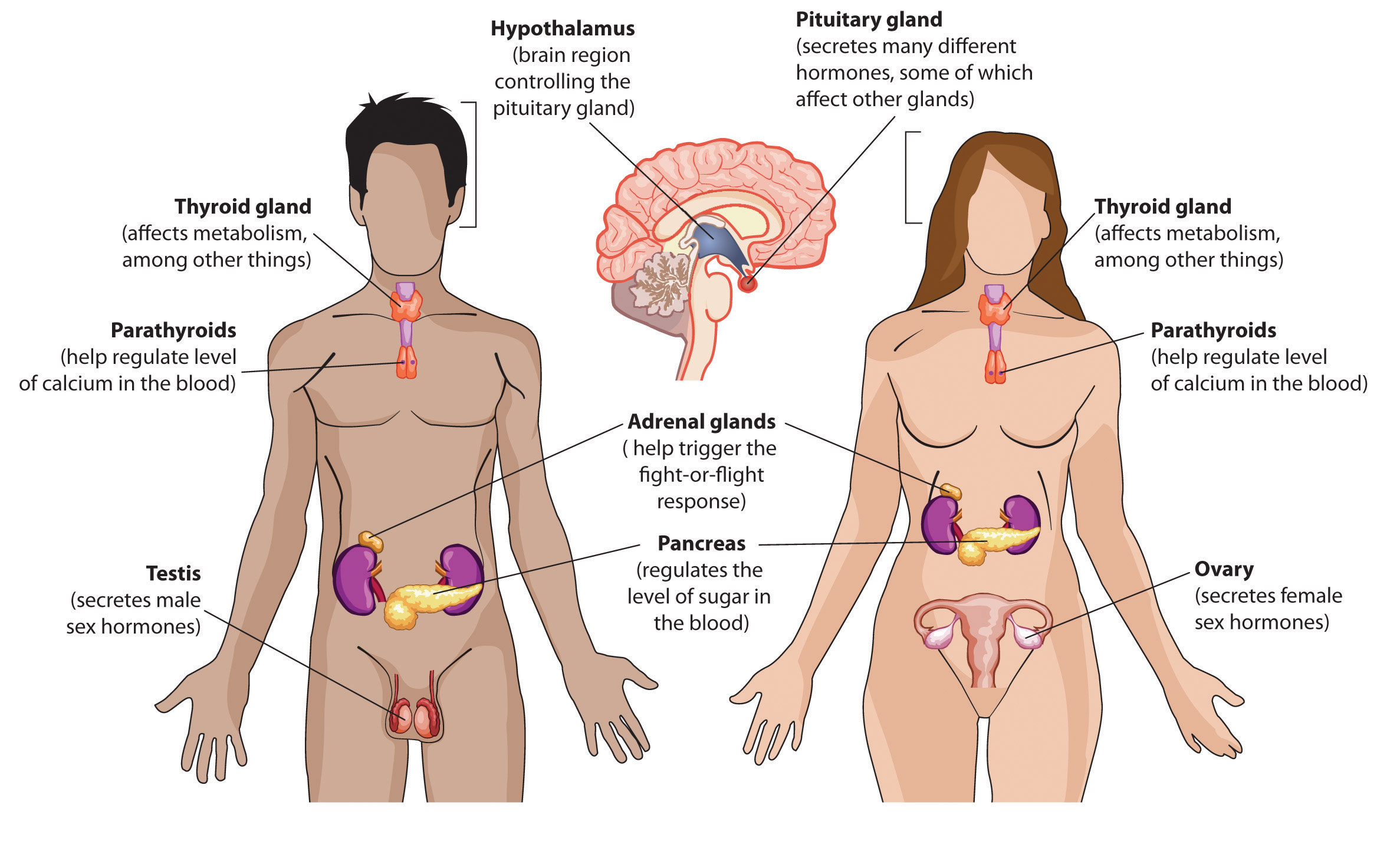 endocrine system effects of hormones on metabolic rate chart