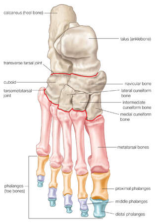 Phalanges hand and foot